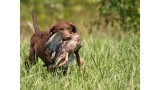 Chesapeake Bay Retriever.
