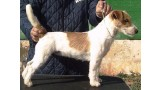 Jack Russell Terrier. Charming Charity of Jack´s Paradise