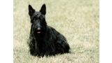 Scottish Terrier sentado en la hierba