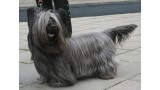 Skye Terrier. Pleple2000