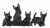 Cachorros de Scottish Terrier negro sobre fondo blanco