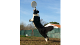 Border Collie. GIB.JR. CH CASIA DE TARAWAY