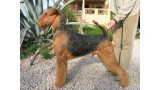 Airedale Terrier. S