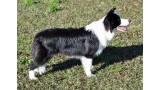 Border Collie. HAN SOLO DE TARAWAY (NEO)