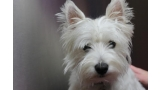 Detalle del West Highland White Terrier