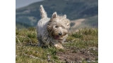 West Highland White Terrier sucio