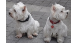 Dps West Highland White Terrier