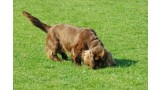 Sussex Spaniel. Lil Shepherd