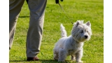 West Highland White Terrier con correa