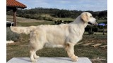 Golden Retriever. Destiny´s Child de Valdelesabeyes (Dess)