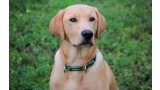 Labrador Retriever color trigo