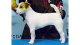 Jack Russell Terrier. CH. Thorgall of Mayo Land