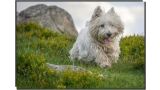 West Highland White Terrier corriendo