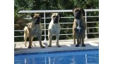 Bullmastiff. Emma Thompson, Betty Boop y Ernest Borgnine D
