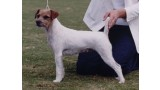 Parson Russell Terrier. Suzan