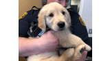 Golden Retriever. (Fuente  Departamento de Policía de Pittsburgh)