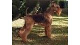Airedale Terrier. Oak Grove S