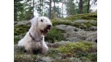 Sealyham Terrier. Ionwind