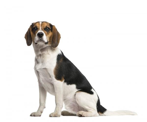 PETSmania - Beagle.