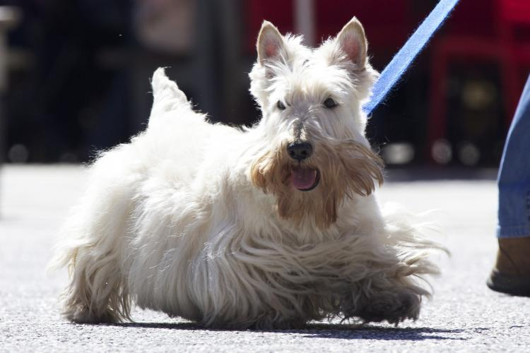 Scottish Terrier trigo paseando con correa