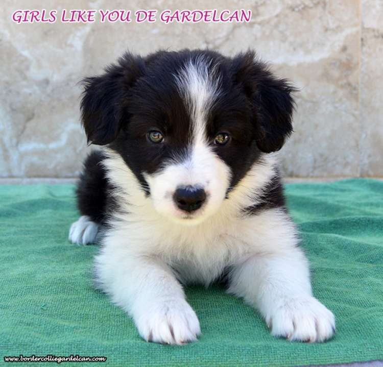 Girls Like You De Gardelcan. Border Collie.