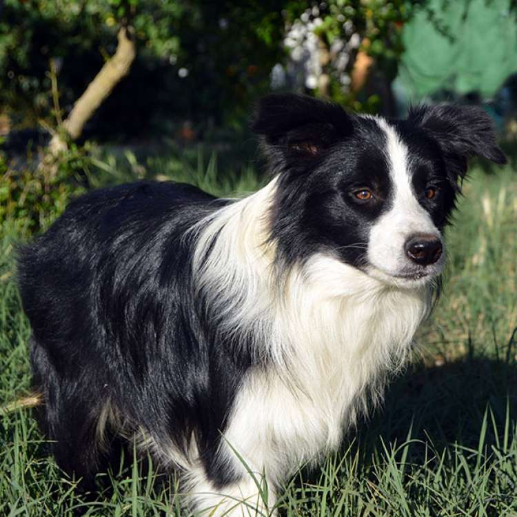 Border Collie. Eyes Of The World Rock Around The Clock