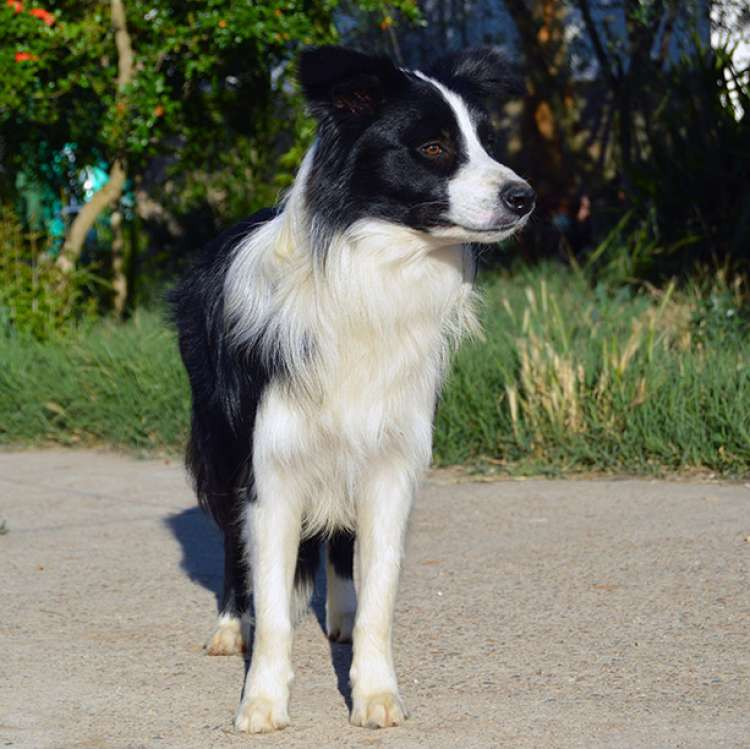 Border Collie. Eyes Of The World Rock Around The Clock.