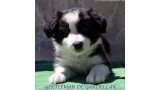 Border Collie. Gentleman De Gardelcan.