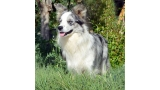 Border Collie. Sweet Home Alabama de Gardelcan