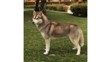 Husky Siberiano . Benji De Winter Of Baikol.