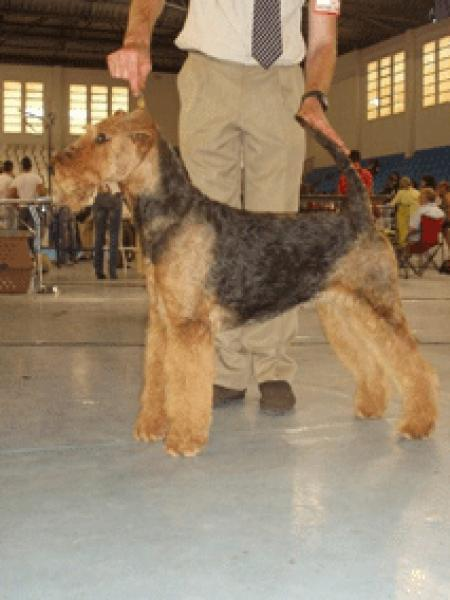 Airedale Terrier.  Ch. Tatinejos La Llanisca.