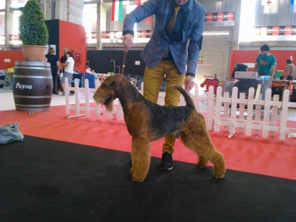 Airedale Terrier. Ch. tatinejos dia perfecto.