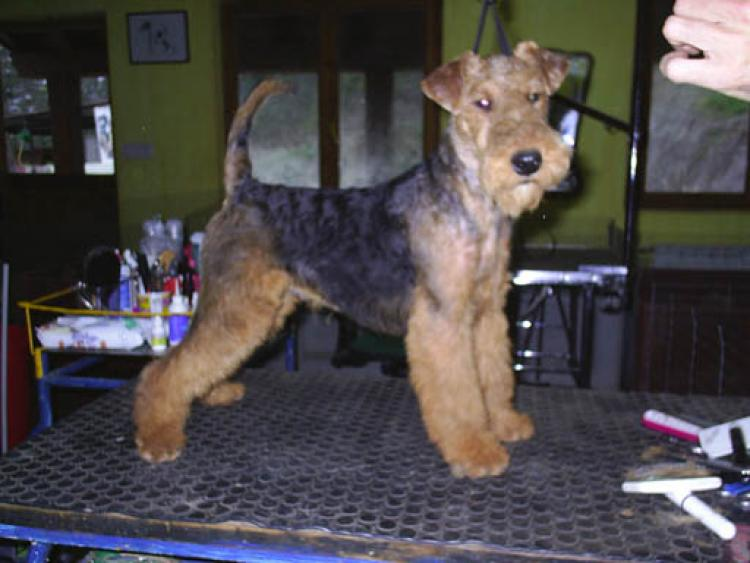 Welsh Terrier. Tatinejos General Patton.