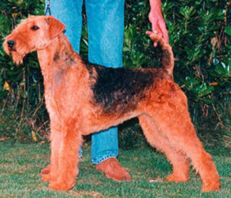 Airedale Terrier.  Ch. All Right Del Rincon De Iguña.