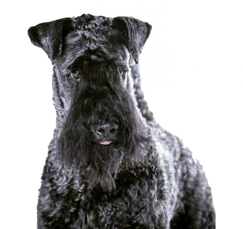 Kerry Blue Terrier. Multi Ch. La Cadiera Diamonds Are Forever.