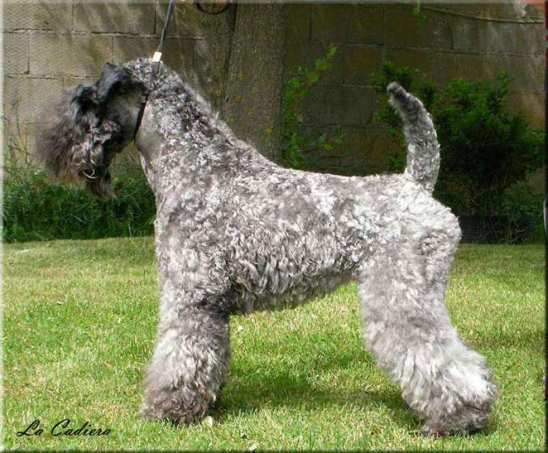 Kerry Blue Terrier. Arigna Electra de la Cadiera.